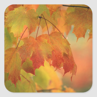 USA, Northeast, Maple Leaves in Rain. Credit as: Square Sticker