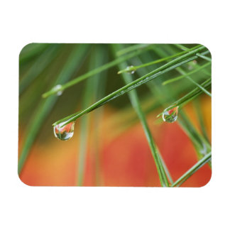 USA, Northeast, Pine tree needles with drops of Rectangular Magnet