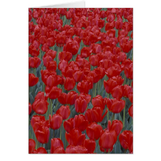 USA, Ohio, Cincinnati. Bed of red tulips Card