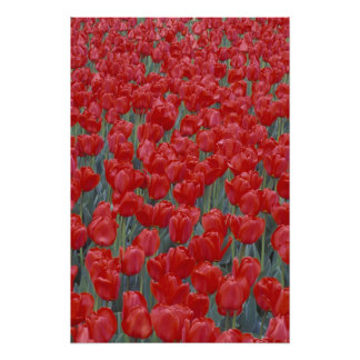 USA, Ohio, Cincinnati. Bed of red tulips Photographic Print
