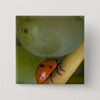 USA, Oregon, Amity. Lady bug on Chardonnay 15 Cm Square Badge