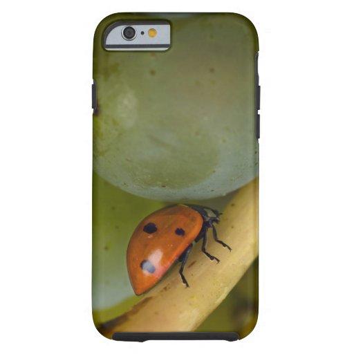 USA, Oregon, Amity. Lady bug on Chardonnay iPhone 6 Case