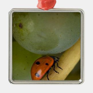 USA, Oregon, Amity. Lady bug on Chardonnay Christmas Ornament