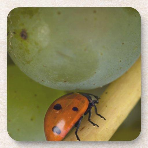 USA, Oregon, Amity. Lady bug on Chardonnay Drink Coasters