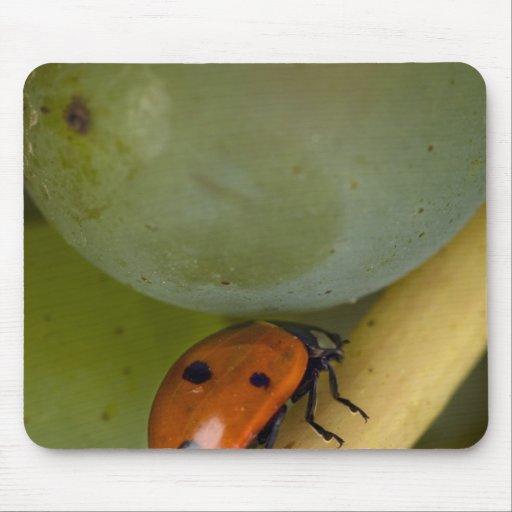 USA, Oregon, Amity. Lady bug on Chardonnay Mouse Pad