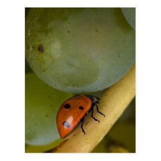 USA, Oregon, Amity. Lady bug on Chardonnay Postcard