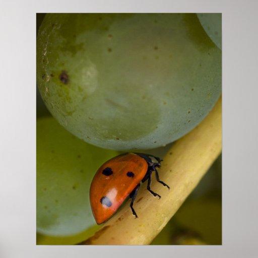 USA, Oregon, Amity. Lady bug on Chardonnay Poster
