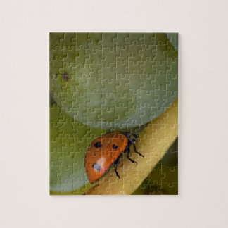 USA, Oregon, Amity. Lady bug on Chardonnay Puzzles