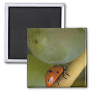 USA, Oregon, Amity. Lady bug on Chardonnay Square Magnet