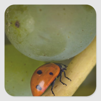 USA, Oregon, Amity. Lady bug on Chardonnay Square Sticker