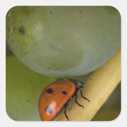 USA, Oregon, Amity. Lady bug on Chardonnay Stickers