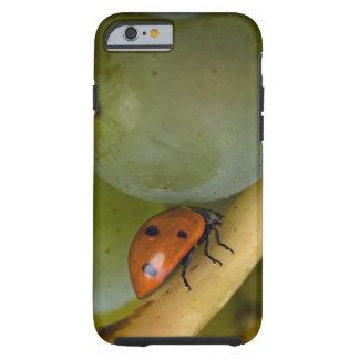 USA, Oregon, Amity. Lady bug on Chardonnay Tough iPhone 6 Case