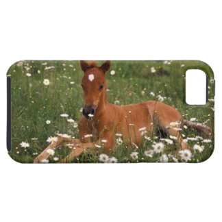 USA, Oregon, Arabian Pony. iPhone 5 Case