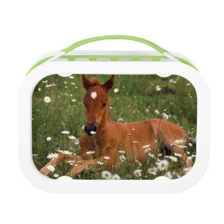 USA, Oregon, Arabian Pony. Lunch Box
