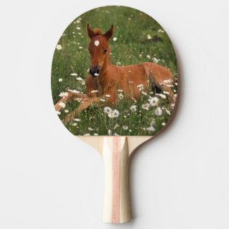 USA, Oregon, Arabian Pony. Ping Pong Paddle