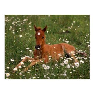 USA, Oregon, Arabian Pony. Postcard