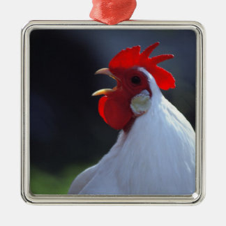 USA, Oregon, Eugene. A white rooster greets Christmas Ornament