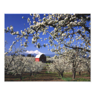 USA, Oregon, Hood River Valley, Pear orchard Photo Print