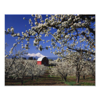 USA, Oregon, Hood River Valley, Pear orchard Poster