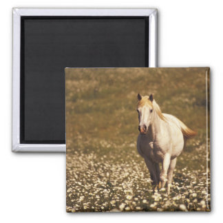 USA, Oregon. Horse in a field of daisies Magnet