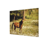 USA, Oregon. Horse in field of daisies Stretched Canvas Prints