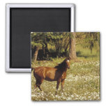 USA, Oregon. Horse in field of daisies Square Magnet