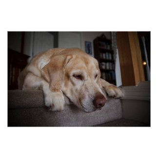 USA, Oregon, Keizer, Labrador Retriever Resting Poster