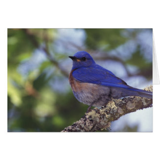 USA, Oregon. Male Western Bluebird Card