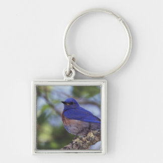 USA, Oregon. Male Western Bluebird Key Ring