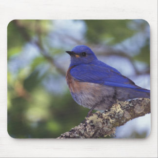 USA, Oregon. Male Western Bluebird Mouse Pad