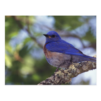 USA, Oregon. Male Western Bluebird Postcard