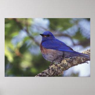 USA, Oregon. Male Western Bluebird Poster