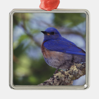 USA, Oregon. Male Western Bluebird Silver-Colored Square Decoration
