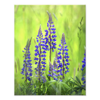 USA, Oregon, Mt. Hood National Forest, Lupine Photo Print