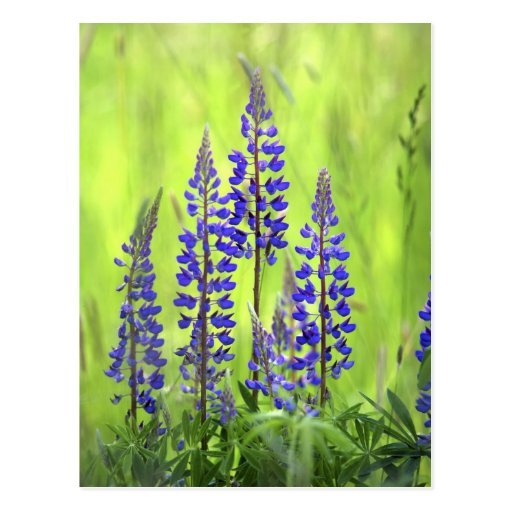 USA, Oregon, Mt. Hood National Forest, Lupine Postcard