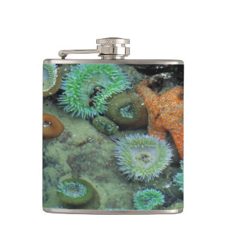 USA, Oregon, Nepture SP. An orange starfish is Flask