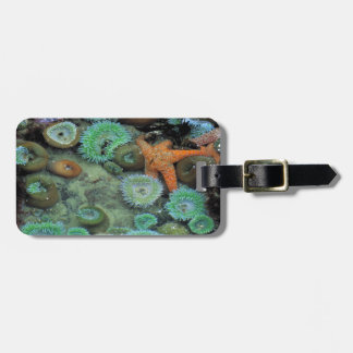 USA, Oregon, Nepture SP. An orange starfish is Luggage Tag