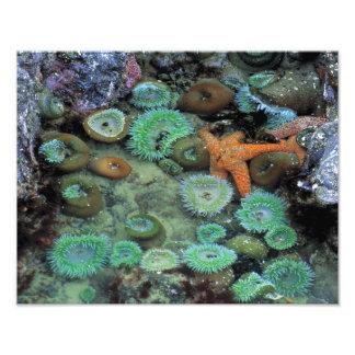 USA, Oregon, Nepture SP. An orange starfish is Photo Print