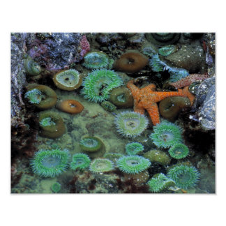USA, Oregon, Nepture SP. An orange starfish is Poster