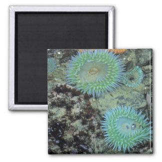 USA, Oregon, Nepture SP. Jewel-toned sea Square Magnet