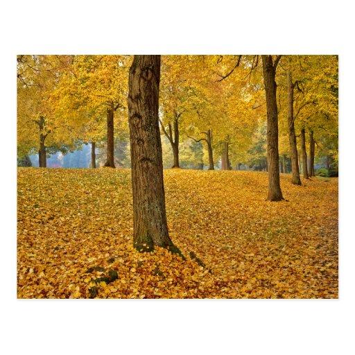 USA, Oregon, Portland. American Linden Trees Post Card