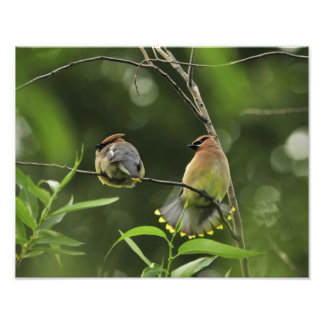 USA, Oregon, Portland. Male cedar waxwing Photo Print