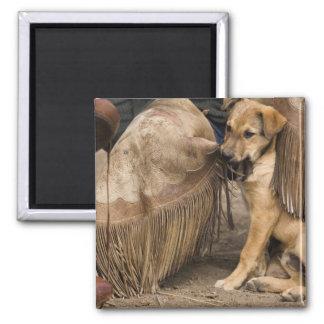 USA, Oregon, Seneca, Ponderosa Ranch. A puppy Square Magnet