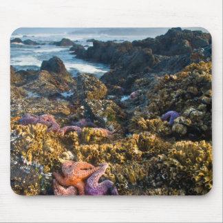 USA, Oregon. Starfish and sea stars Mouse Mat