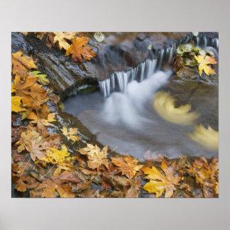 USA, Oregon, Sweet Creek. Fallen maple leaves Poster