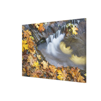 USA, Oregon, Sweet Creek. Fallen maple leaves Stretched Canvas Print