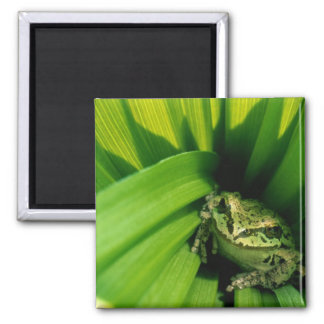USA, Oregon, Treefrog in False Hellebore Magnet
