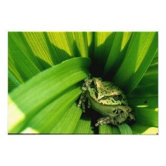 USA, Oregon, Treefrog in False Hellebore Photographic Print