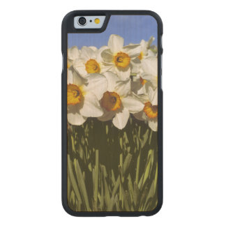 USA, Oregon, Willamette Valley. Daffodils grow Carved® Maple iPhone 6 Case