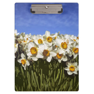 USA, Oregon, Willamette Valley. Daffodils grow Clipboards